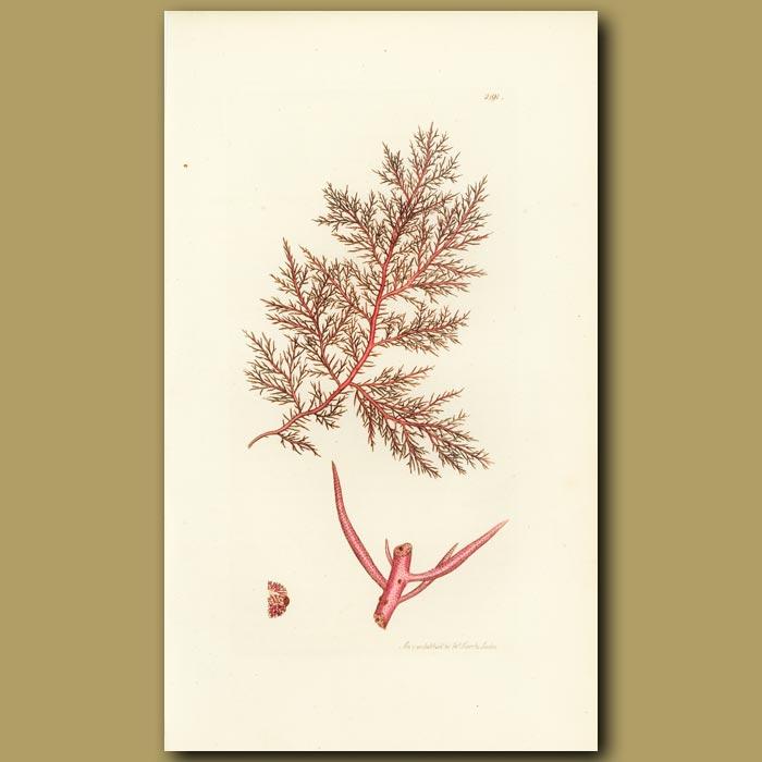 Antique print. Red Capillary Fucus