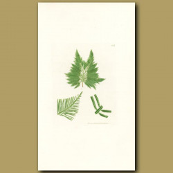 Seaweed: Feathered Laver
