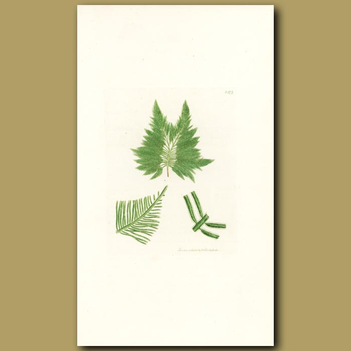 Antique print. Feathered Laver