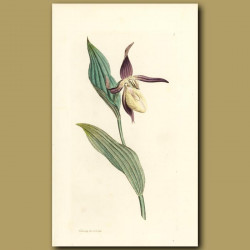 Ladies Slipper Orchid. (First Plate In Volume 1)