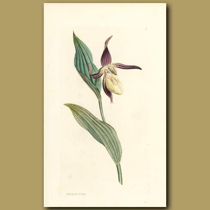 Antique print. Ladies Slipper Orchid. (First Plate In Volume 1)