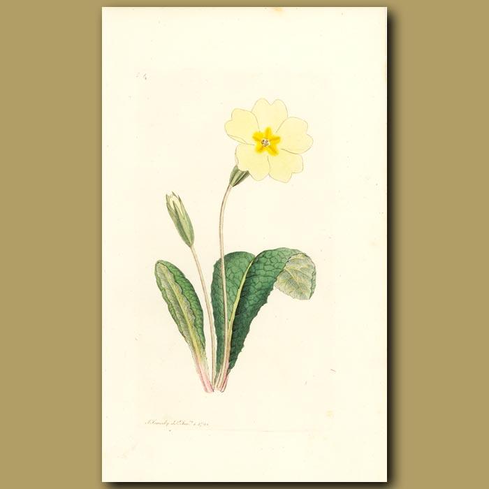Antique print. Common Primrose