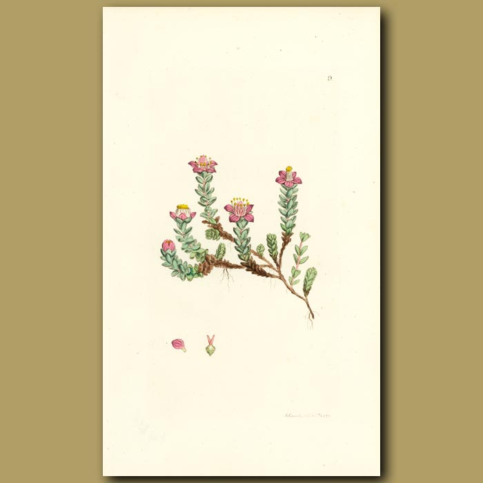 Antique print. Purple Saxifrage
