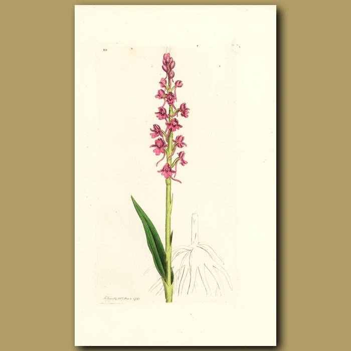 Antique print. Orchid - Aromatic Orchis