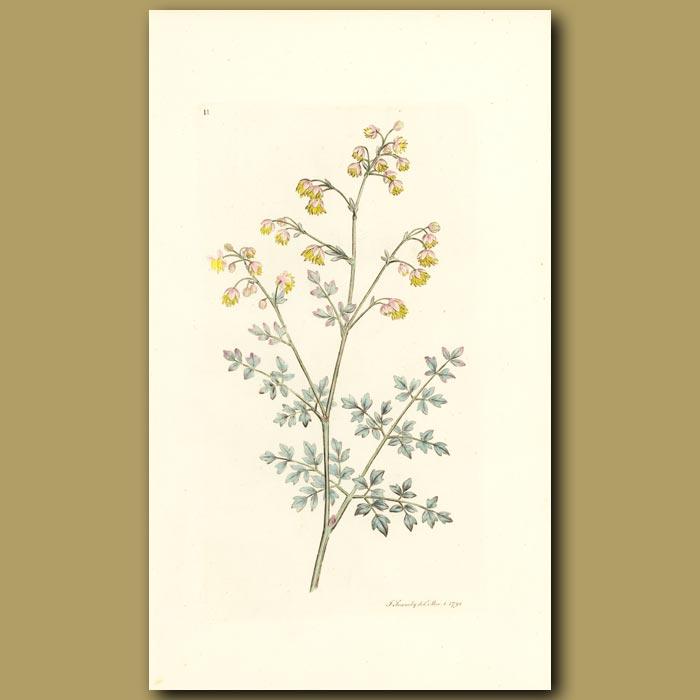 Antique print. Lesser Meadow Rue
