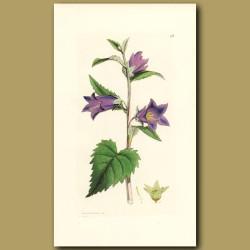 Nettle-Leaved Bell Flower