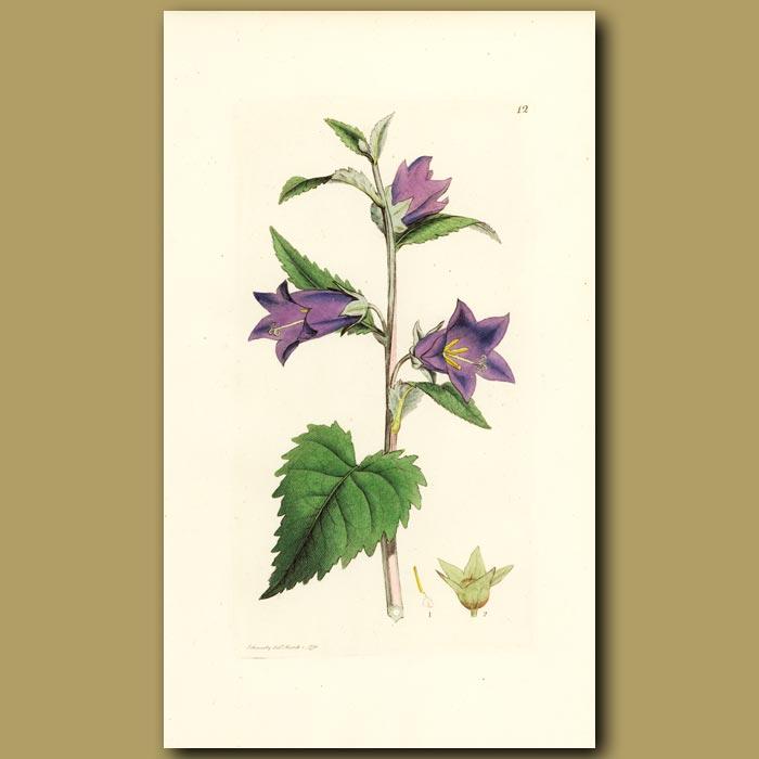 Antique print. Nettle-Leaved Bell Flower