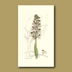 Orchid - Military Orchis