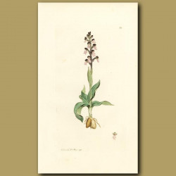 Orchid, Dwarf Orchis