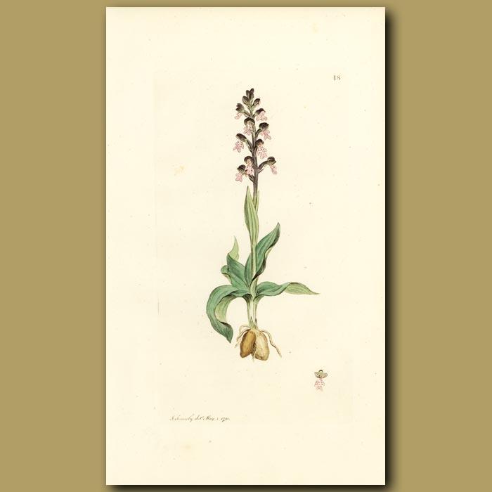Antique print. Orchid, Dwarf Orchis