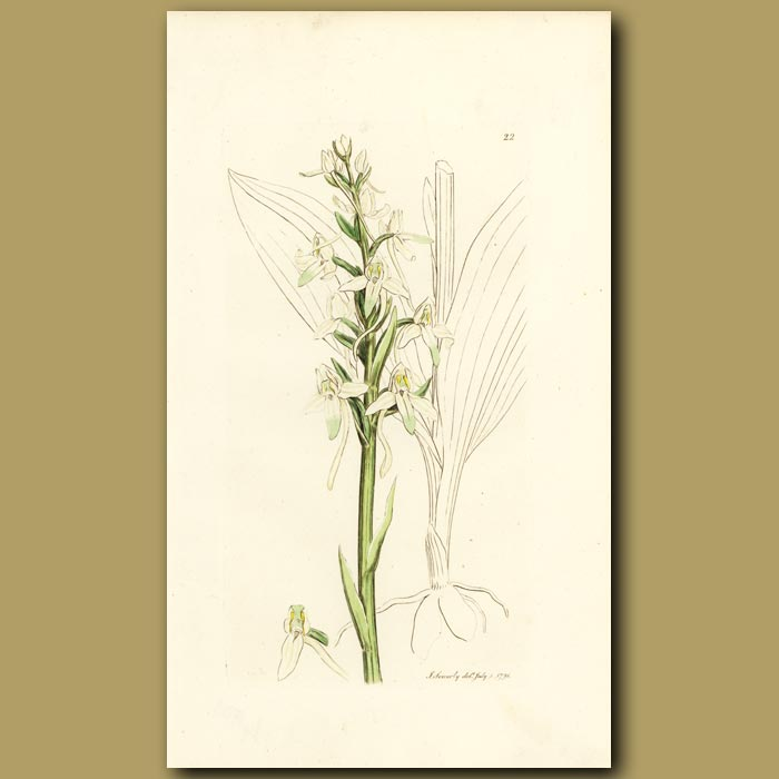 Antique print. Orchid, Butterfly Orchis
