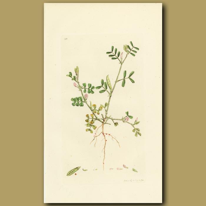 Antique print. Spring Vetch