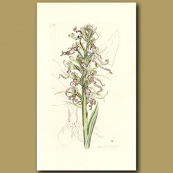 Orchid, Lizard Satyrion Or Orchis