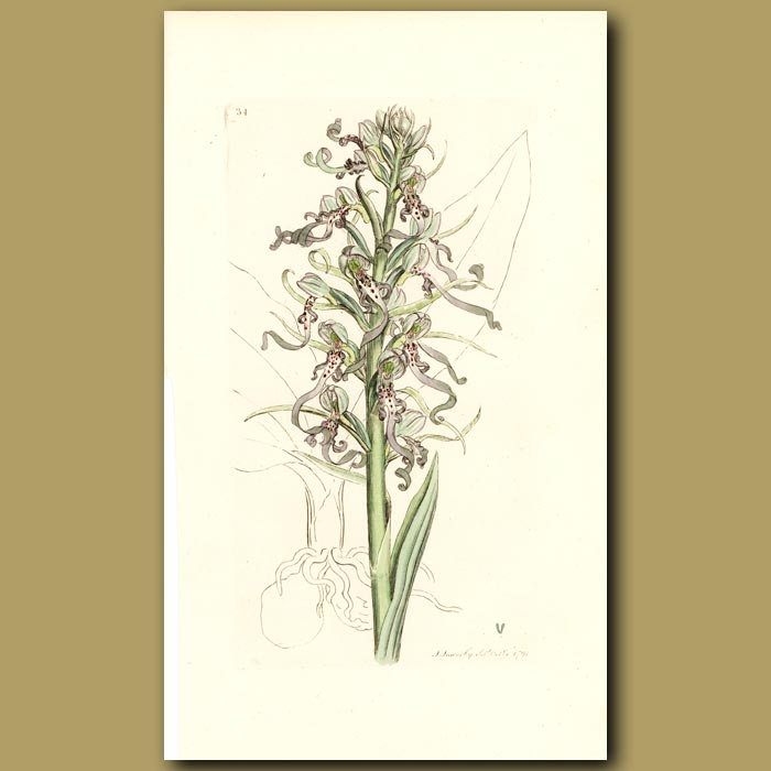 Antique print. Orchid, Lizard Satyrion Or Orchis