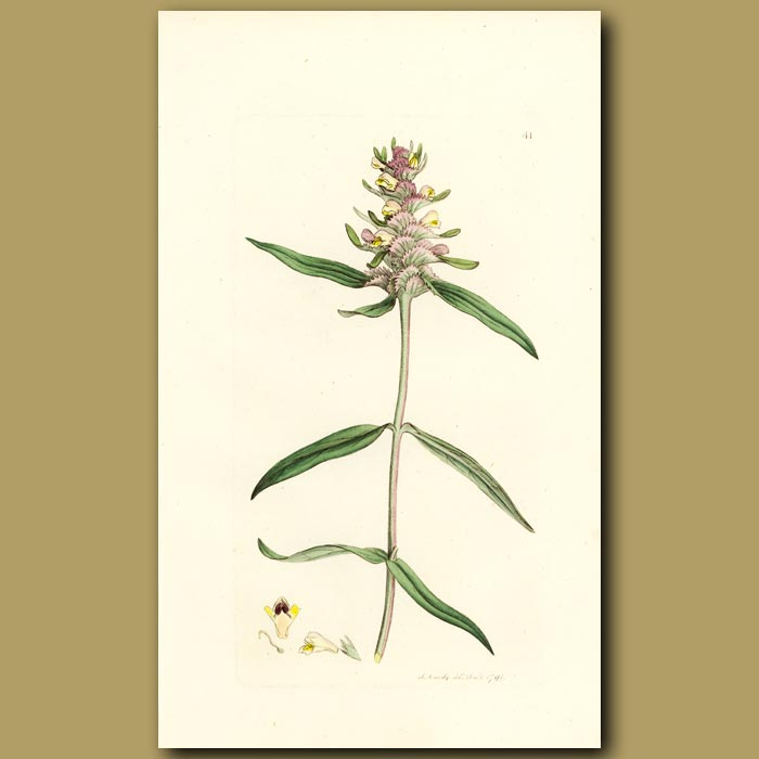 Antique print. Crested Cow-Wheat