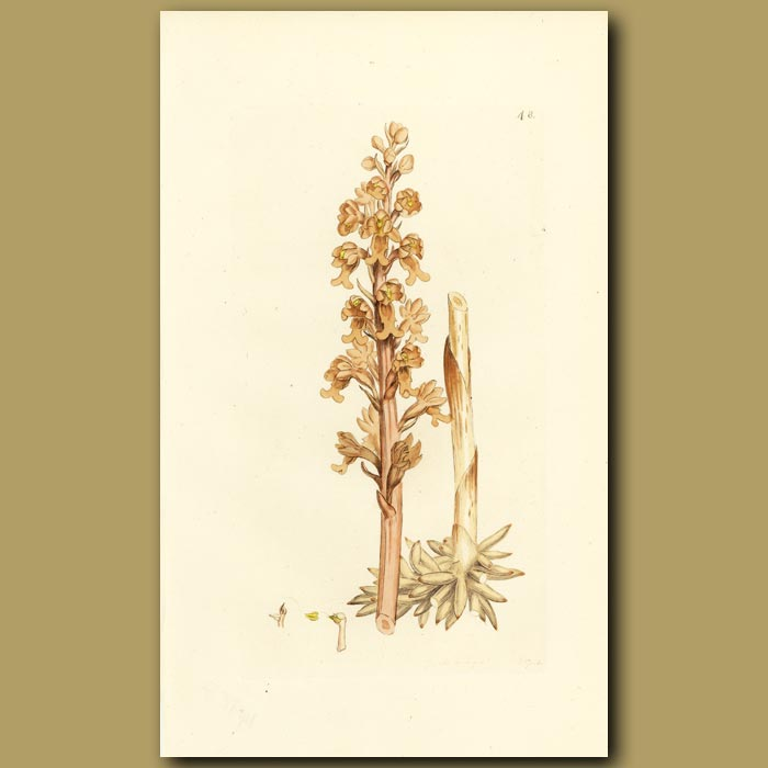 Antique print. Orchid, Birds Nest Ophrys