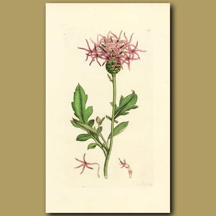 Antique print. Greater Knapweed