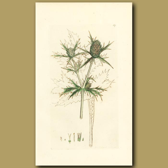 Antique print. Field Eryngo
