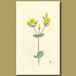 Yellow Centaury