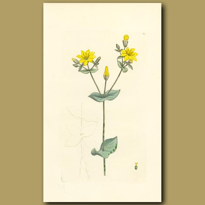 Antique print. Yellow Centaury