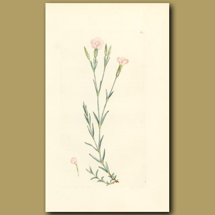 Antique print. Maiden Pink