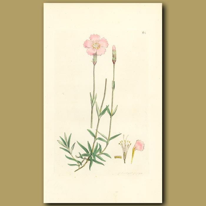 Antique print. Mountain Pink