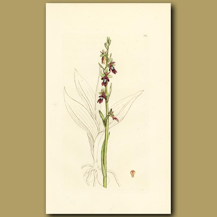 Antique print. Orchid, Fly Orchis