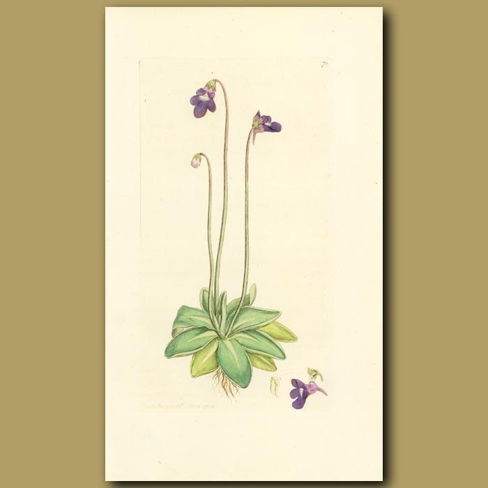 Antique print. Common Butter-Wort (carnivorous)