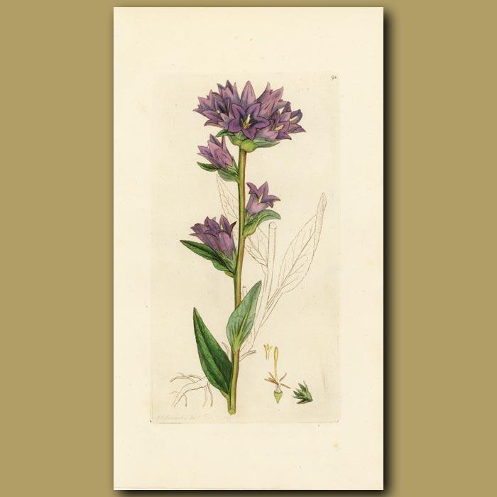 Antique print. Clustered Bell-Flower