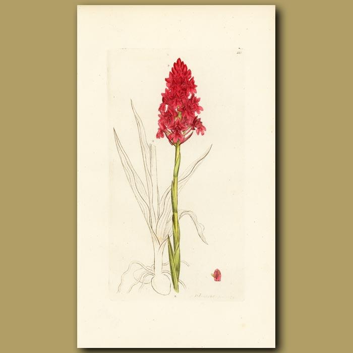 Antique print. Pyramidal Orchid