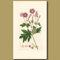 Wild Geranium, Wood Cranesbill