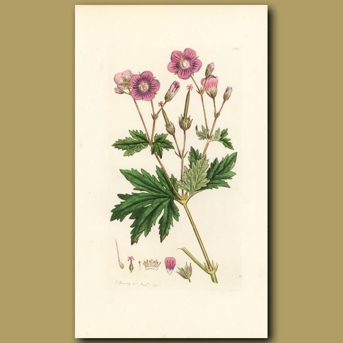 Antique print. Wild Geranium, Wood Cranesbill