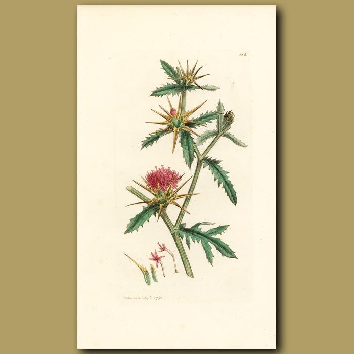 Antique print. Star Thistle