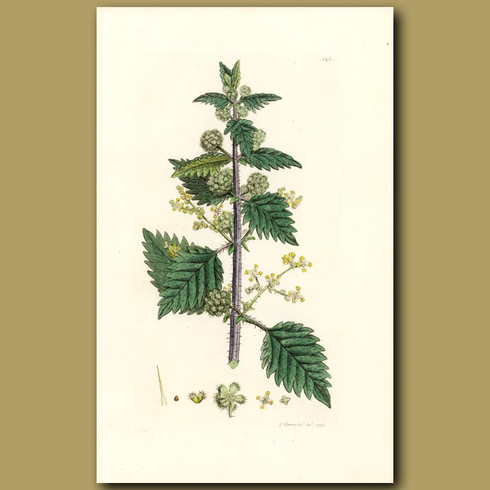 Antique print. Roman Nettle