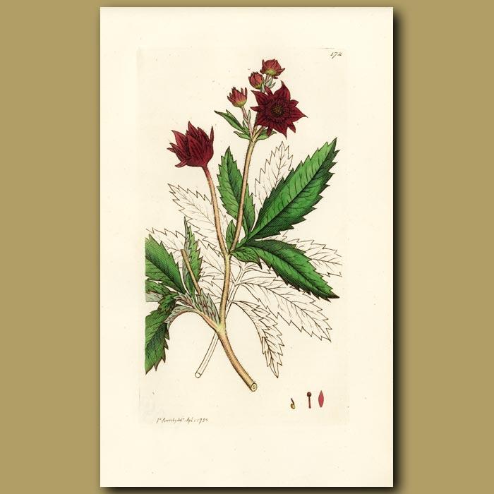 Antique print. Marsh Cinquefoil