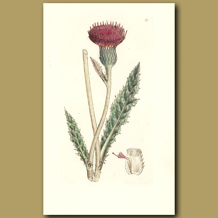 Antique print. Meadow Thistle