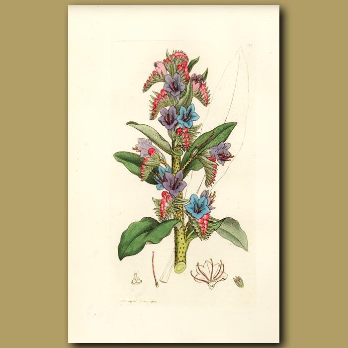 Antique print. Broad-Leaved Pepper-Wort