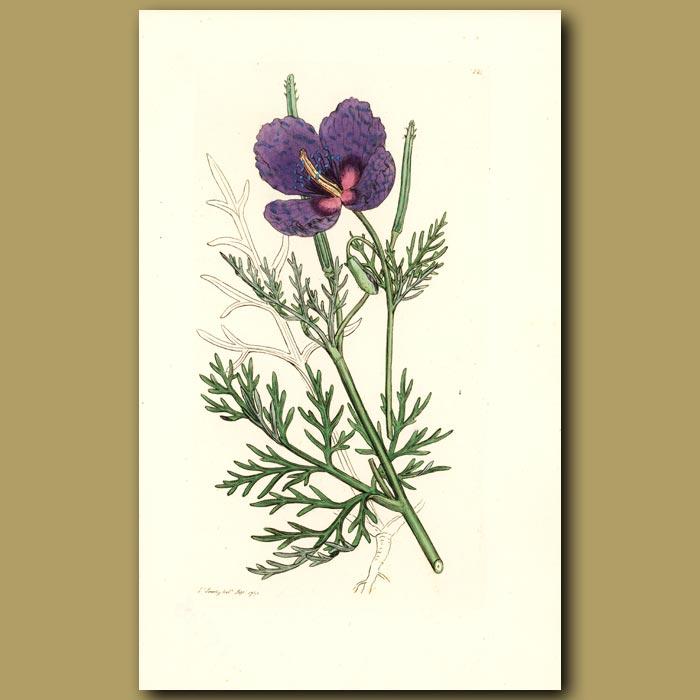 Antique print. Violet Horned Poppy