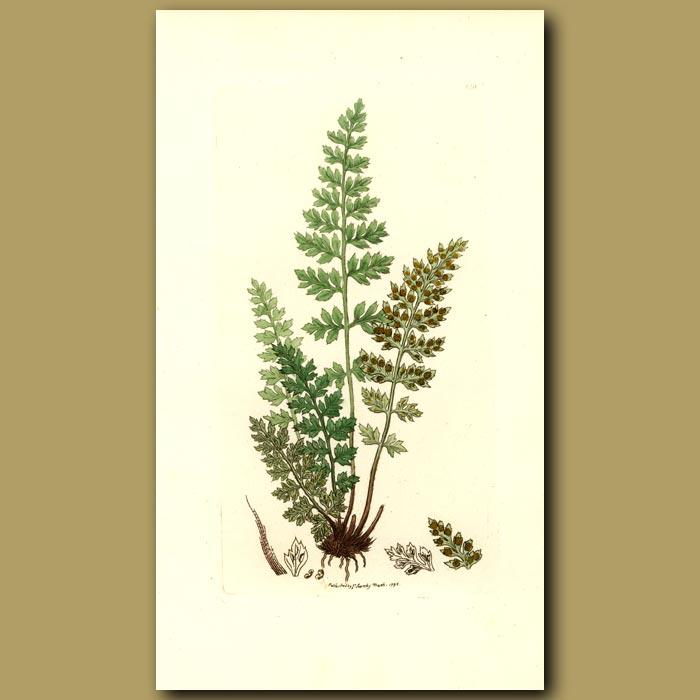 Antique print. Lanceolate Spleenwort