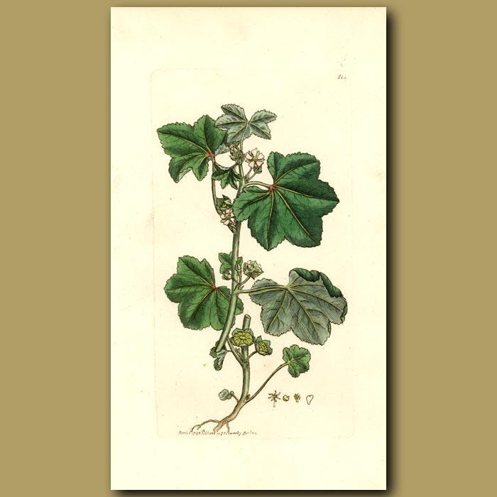 Antique print. Sun Flowered Mallow