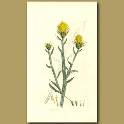 St.Barnaby's Thistle