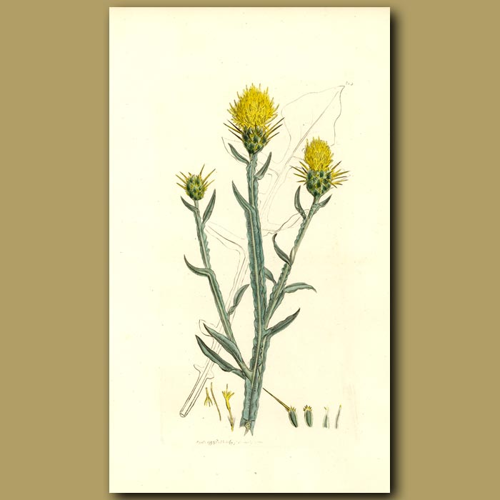 Antique print. St.Barnaby's Thistle
