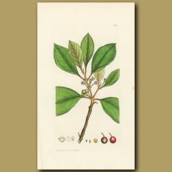 Berry Bearing Alder