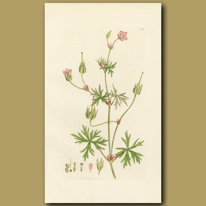 Antique print. Long-Stalked Cranesbill