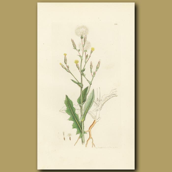 Antique print. Prickly Lettuce