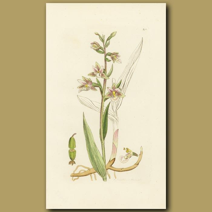 Antique print. Marsh Helleborine