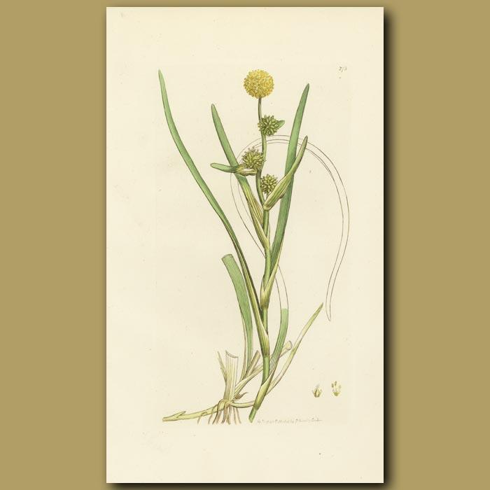 Antique print. Floating Bur-Weed