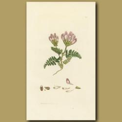 Purple Mountain Milkwort