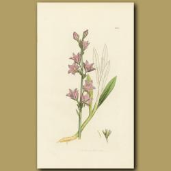 Rampion Bell-Flower