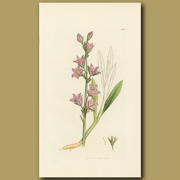 Antique print. Rampion Bell-Flower